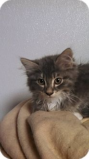 Domestic Longhair Kitten for adoption in Des Moines, Iowa - Presley