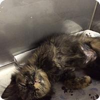 Adopt A Pet :: Dust Bunny - Byron Center, MI