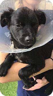 Labrador Retriever Mix Puppy for adoption in Portland, Oregon - Carrie