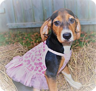 Beagle/Jack Russell Terrier Mix Puppy for adoption in Waupaca, Wisconsin - SuperWoman