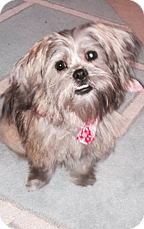 Yorkie, Yorkshire Terrier/Maltese Mix Puppy for adoption in Fishers, Indiana - Sophie