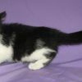Domestic Shorthair Cat for adoption in Powell, Ohio - Shelton
