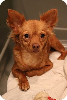 Pomeranian/Chihuahua Mix Dog for adoption in Hagerstown, Maryland - Primm