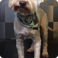 Adopt A Pet :: Toby Maltese - McKinney, TX