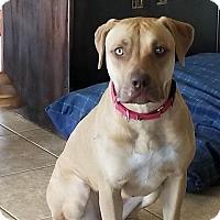 Adopt A Pet :: Lacy - Austin, TX
