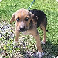 German Shepherd Dog/Australian Shepherd Mix Puppy for adoption in Washington, D.C. - Thomas