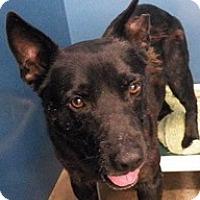 Adopt A Pet :: Blacky - Springdale, AR