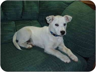 Jack Russell Terrier/Dalmatian Mix Puppy for adoption in Kellogg, Idaho - Shooter