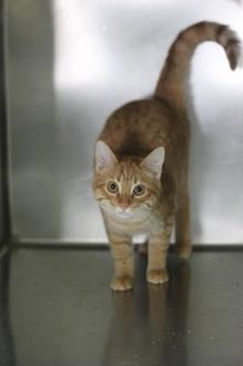 Domestic Shorthair/Domestic Shorthair Mix Cat for adoption in Covington, Louisiana - Baldwin