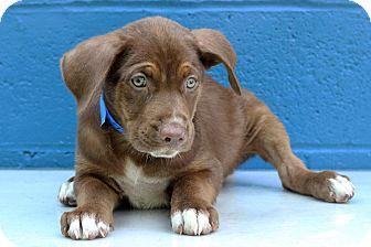 Labrador Retriever/Hound (Unknown Type) Mix Puppy for adoption in Waldorf, Maryland - Huey