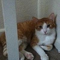Domestic Shorthair Cat for adoption in Napa, California - Finley