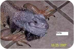 Iguana for adoption in HOUSTON, Texas - ROCKETTE