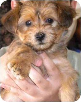 Yorkie, Yorkshire Terrier Mix Puppy for adoption in Orange, California - Caramel