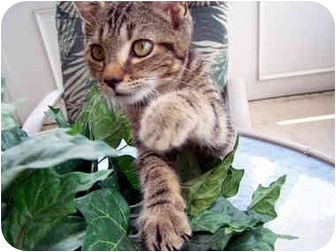 American Shorthair Cat for adoption in Amelia, Ohio - Dog in a Kitty Suit!