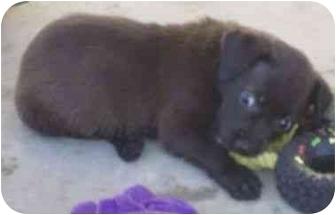 Labrador Retriever/Shepherd (Unknown Type) Mix Puppy for adoption in Phoenix, Arizona - Tiny the Puppy