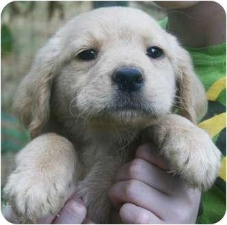Labrador Retriever Mix Puppy for adoption in Plainfield, Connecticut - Apricot