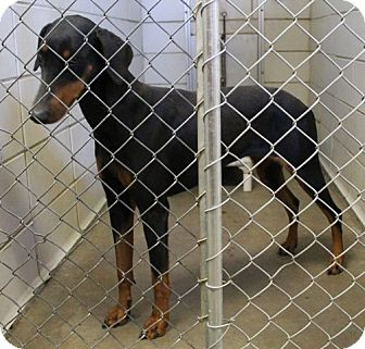 Doberman Pinscher Dog for adoption in Haughton, Louisiana - BCAC Doberman