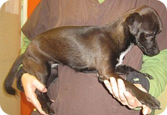 Chihuahua/Dachshund Mix Dog for adoption in Westminster, California - Lucy