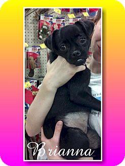 Pug/Chihuahua Mix Dog for adoption in Delaware, Ohio - Brianna