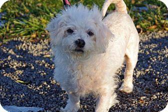 Bichon Frise Mix Dog for adoption in Elyria, Ohio - Cleo