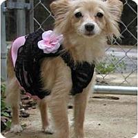 Adopt A Pet :: lil bit - Pembroke Pines, FL