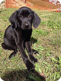 Labrador Retriever Mix Puppy for adoption in New Oxford, Pennsylvania - Jane