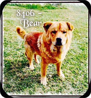 Chow Chow Mix Dog for adoption in Dillon, South Carolina - Bear