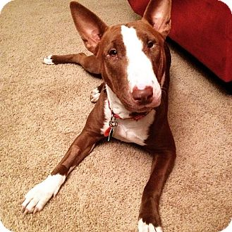 Bull Terrier Mix Dog for adoption in College Station, Texas - Dimples