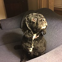 Cocker Spaniel Mix Dog for adoption in Mentor, Ohio - Eli 8yr