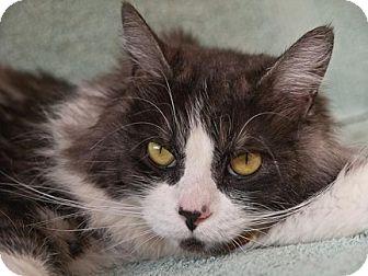 Domestic Longhair Cat for adoption in Oakland, California - Alexandria