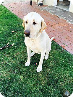 Labrador Retriever Dog for adoption in Corona, California - Qismat