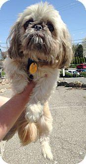 Pekingese Mix Dog for adoption in Pompton Lakes, New Jersey - CODY