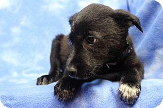 Labrador Retriever/Blue Heeler Mix Puppy for adoption in Westminster, Colorado - Beaumont