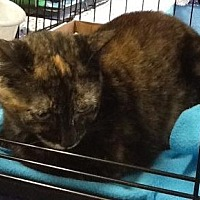 Domestic Shorthair Cat for adoption in Houston, Texas - Patches 3