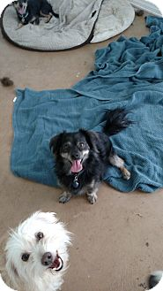 Dachshund/English Toy Spaniel Mix Dog for adoption in Simi Valley, California - Buddy