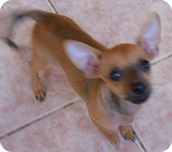 Chihuahua Puppy for adoption in dewey, Arizona - Pickles