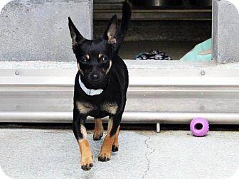 Chihuahua Mix Dog for adoption in Long Beach, California - Ben