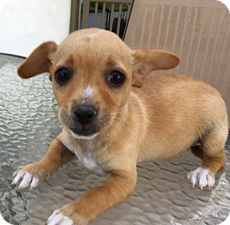 Dachshund/Jack Russell Terrier Mix Puppy for adoption in Santa Ana, California - Moe