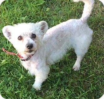 Poodle (Miniature)/Westie, West Highland White Terrier Mix Dog for adoption in Va Beach, Virginia - Sammy