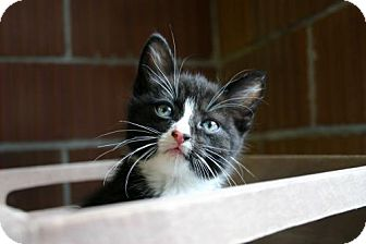 Domestic Shorthair Kitten for adoption in Flora, Illinois - Mia