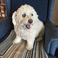 Cockapoo Mix Dog for adoption in Fargo, North Dakota - Emma