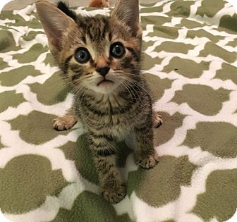 Domestic Shorthair Kitten for adoption in Knoxville, Tennessee - Peanut