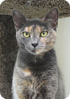 Domestic Shorthair Cat for adoption in Dublin, California - Harper