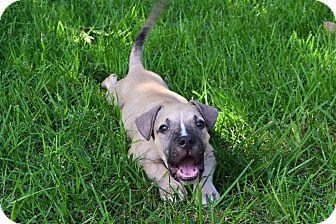 Boxer/Labrador Retriever Mix Puppy for adoption in Harrisburg, Pennsylvania - HERBIE