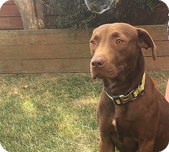 Labrador Retriever Mix Dog for adoption in Woodstock, Georgia - Trixie