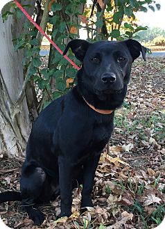 Retriever (Unknown Type) Mix Dog for adoption in Starkville, Mississippi - Marlena