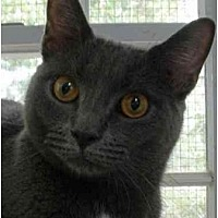 Domestic Shorthair Cat for adoption in Stanhope, New Jersey - Rose