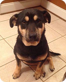 Labrador Retriever/Australian Kelpie Mix Puppy for adoption in Westport, Connecticut - Bella