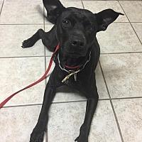 Labrador Retriever/Chow Chow Mix Dog for adoption in Morriston, Florida - Adrian