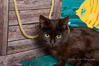 Domestic Shorthair Cat for adoption in Elizabethtown, Pennsylvania - Panther